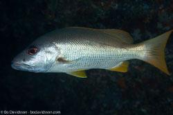 BD-130713-Maldives-0377-Lutjanus-monostigma-(Cuvier.-1828)-[One-spot-snapper].jpg